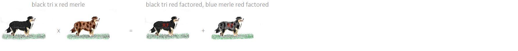 Australian Shepherd Farbvererbung